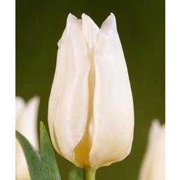 Тюльпаны Agrass White