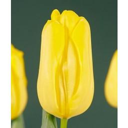 Тюльпаны Agras Gold