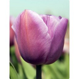 Тюльпаны Alma Pavlovic