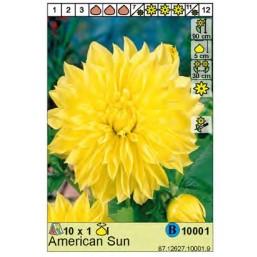 Георгин American Sun