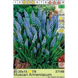 Мускари Armeniacum (x200) 7/8 (цена за шт.)