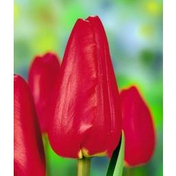 Тюльпаны Aveneu