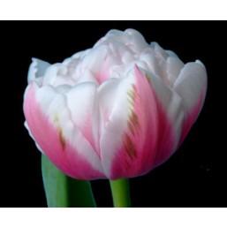 Тюльпаны Melrose