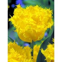 Тюльпаны Exotic Sun