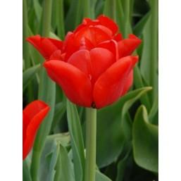 Тюльпаны Ben van Zanten