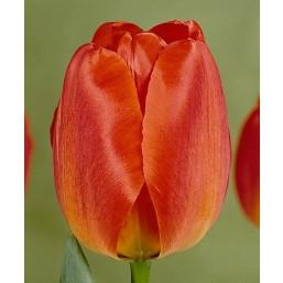 Тюльпаны Berini