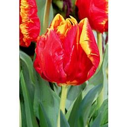 Тюльпаны Bright Parrot