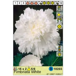 Бегония Fimbriata White 5/6