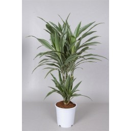 Драцена Fragrans Warneckei 17.0 80
