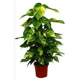 Эпипремнум pinnatum на моховой опоре 15.0.60