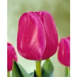 Тюльпаны Carola