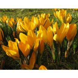 Крокус Yellow M. (x200) 8/9 (цена за шт.)