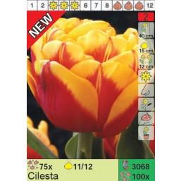 Тюльпаны Cilesta (x100) 11/12 (цена за шт.)