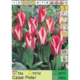 Тюльпаны Czaar Peter (x100) 11/12 (цена за шт.)