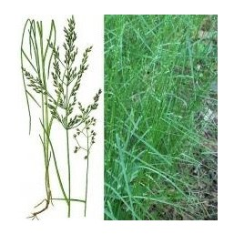 """Семена """"Мятлик лесной SHADOW"""" 25 кг"""