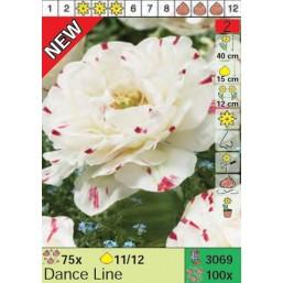 Тюльпаны Dance Line (x100) 11/12 (цена за шт.)