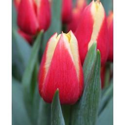 Тюльпаны Delta Queen