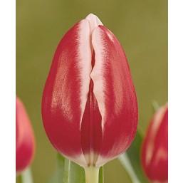 Тюльпаны Debutante