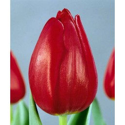 Тюльпаны Dick Passchier