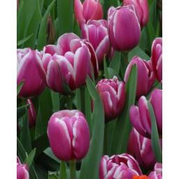 Тюльпаны Djerba