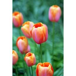 Тюльпаны Dordogne