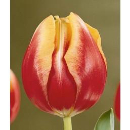 Тюльпаны Dow Jones