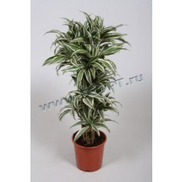 Драцена marginata Magenta 17.0 75