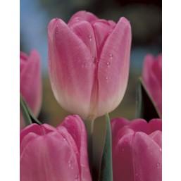 Тюльпаны Essence