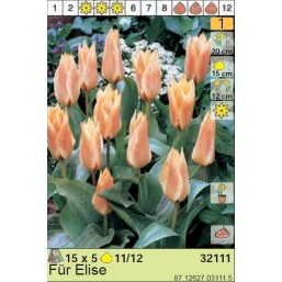 Тюльпаны Für Elise (x5) 11/12 (цена за шт.)