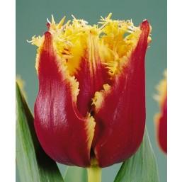 Тюльпаны Fabio