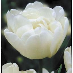 Тюльпаны Mondial