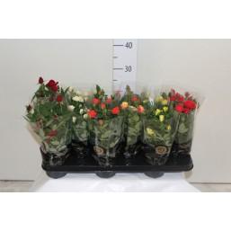 Роза миниатюрная 11.0 30