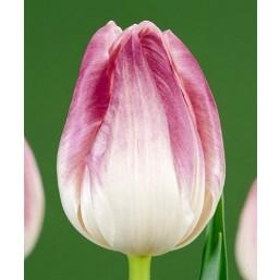 Тюльпаны First Class