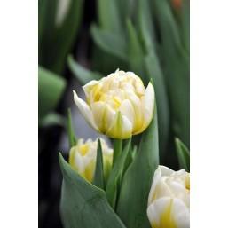 Тюльпаны Flaming Evita