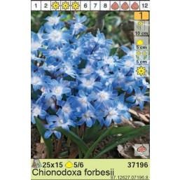 Хионокса Forbesii (x15) 5/7 (цена за упаковку)