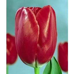 Тюльпаны Friso