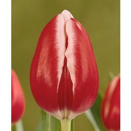 Тюльпаны Furand
