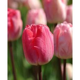 Тюльпаны Gander's Rhapsody