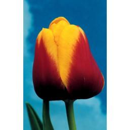Тюльпаны Gerrit van der valk