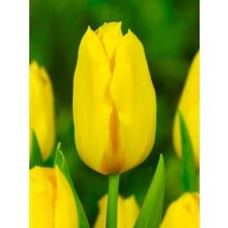 Тюльпаны Golden Tycoon