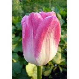 Тюльпаны Hatsuzakura