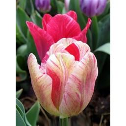 Тюльпаны Hemisphere