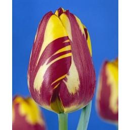 Тюльпаны Helmar