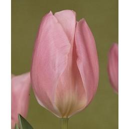 Тюльпаны Jordan