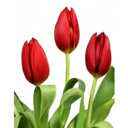 Тюльпаны Korando