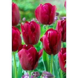 Тюльпаны Krasa