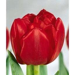 Тюльпаны Largo