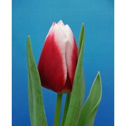 Тюльпаны La Mancha