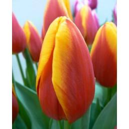 Тюльпаны Luba