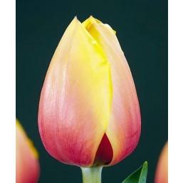 Тюльпаны Marit